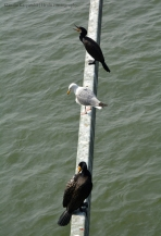 Little black cormorants (Phalacrocorax sulcirostris) and European herring gull (Larus argentatus)