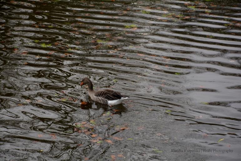 Greylag goose (Anser anser) II