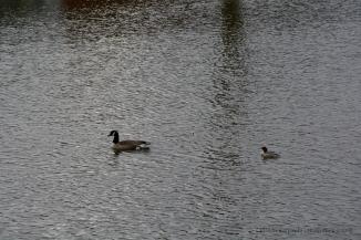Canada goose (Branta canadensis) and goosander (Mergus merganser)