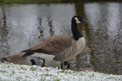Canada goose (Branta canadensis) II