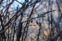 Two Red Fruits II