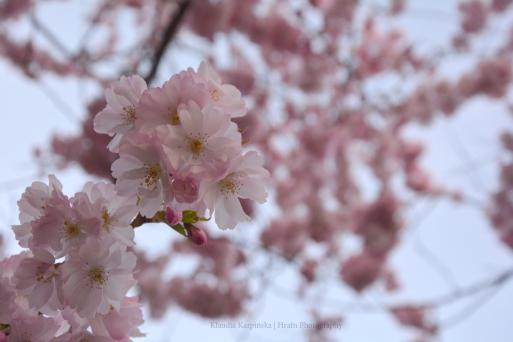 (Prunus serrulata)