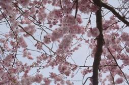 Japanische Blütenkirsche II