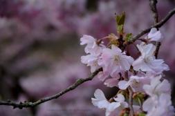 Japanische Blütenkirsche III