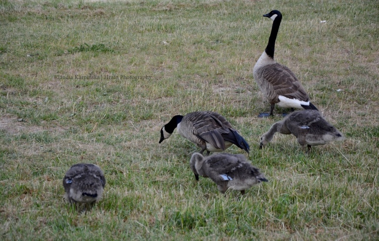 Family of Canada geese II