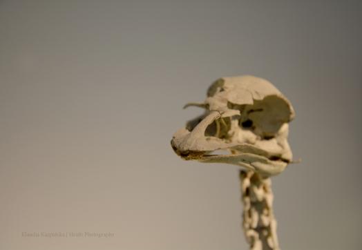 Skeleton of Emu V