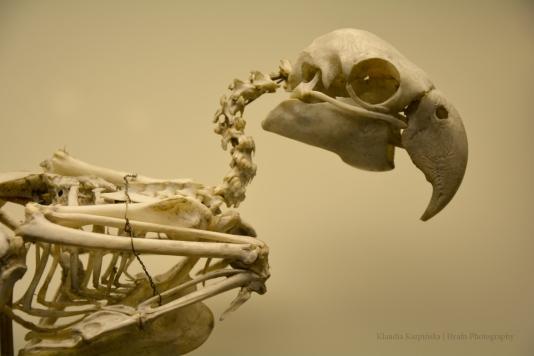 Skeleton of blue-and-yellow macaw II