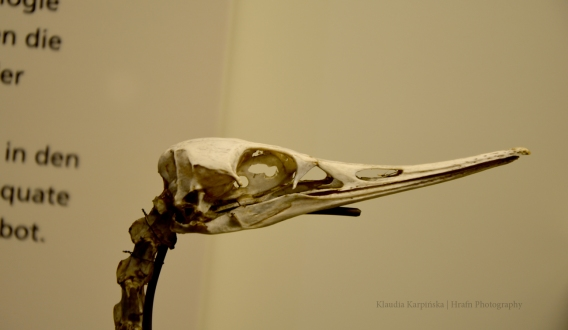 Skeleton of red-breasted merganser II