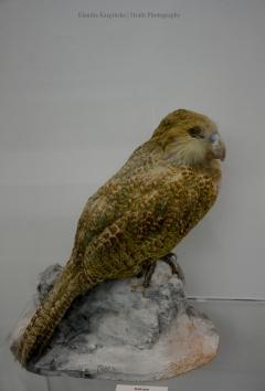 Owl parrot (Strigops habroptila)