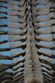 Skeleton of blue whale III