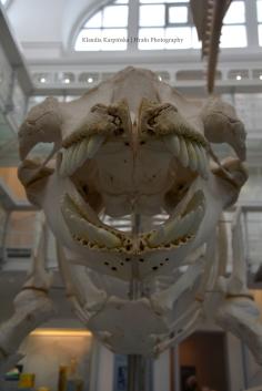 Skeleton of orca II