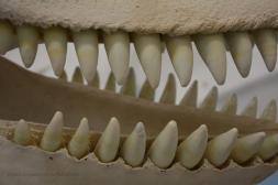 Skeleton of orca VI