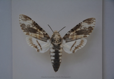 Death's-head hawkmoth II
