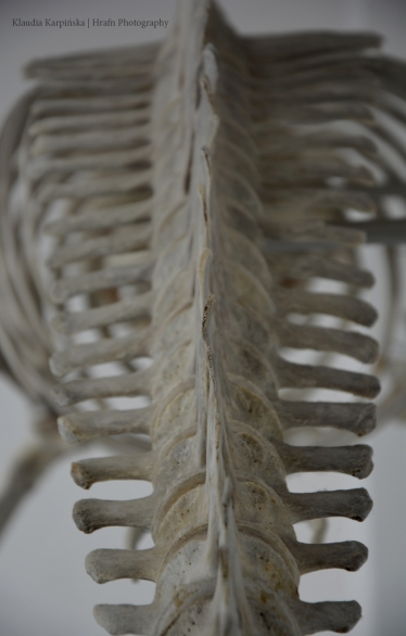 Spine of Orca (Orcinus orca)