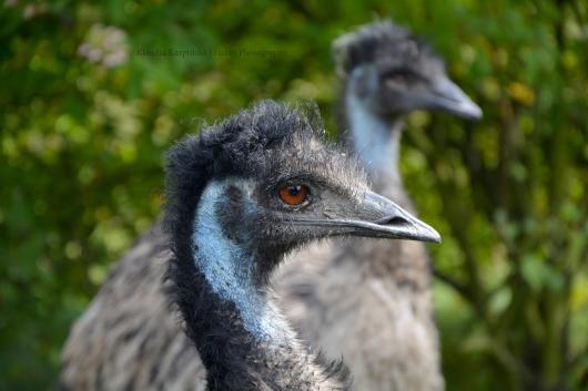 Emu (II)