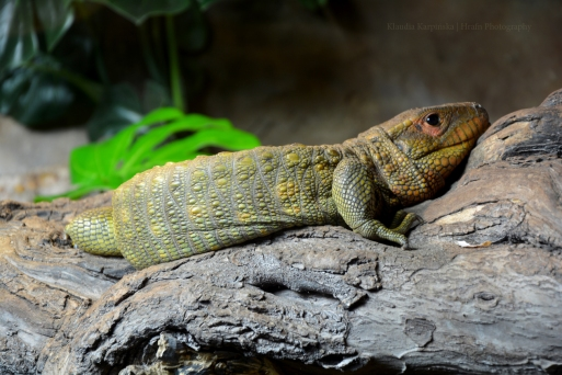 Northern caiman lizard (Dracaena guianens)is