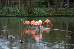 American flamingos (Phoenicopterus ruber) surrounded by flock of mallards (Anas platyrhynchos) and common moorhens (Gallinula chloropus)