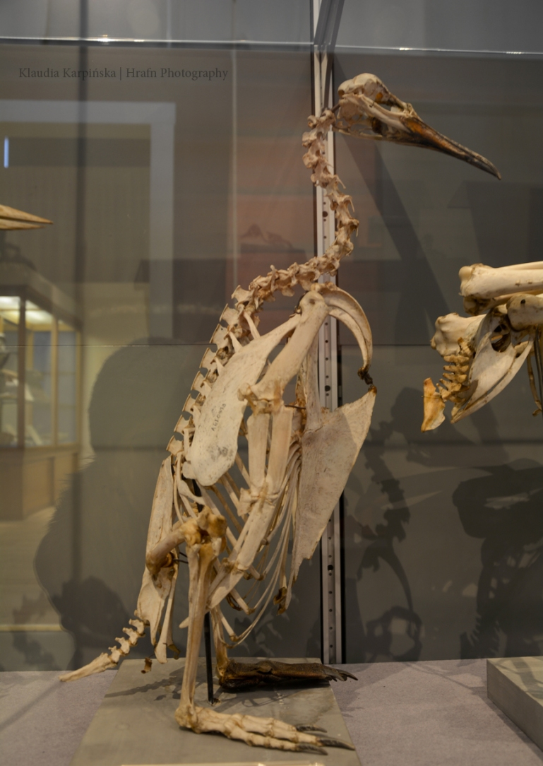Skeleton of king penguin (Aptenodytes patagonicus)