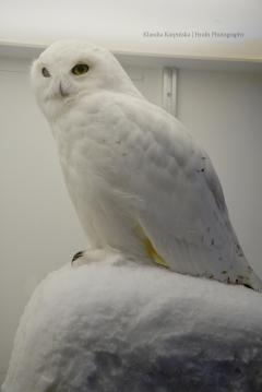 Specimen of snowy owl (Bubo scandiacus)