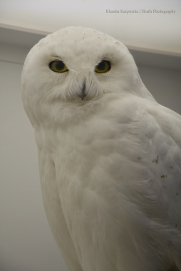 Specimen of snowy owl (Bubo scandiacus) (II)