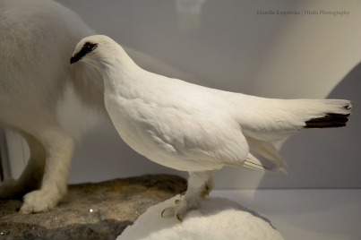 Specimen of rock ptarmigan (Lagopus muta)