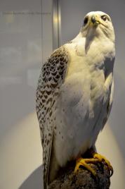 Specimen of gyrfalcon (Falco rusticolus)