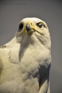 Specimen of gyrfalcon (Falco rusticolus) (II)
