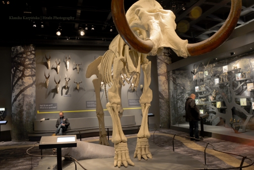 Skeleton of woolly mammoth (Mammuthus primigenius)