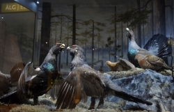 Diorama with western capercaillie (Tetrao urogallus)