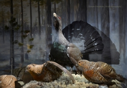 Diorama with western capercaillie (Tetrao urogallus) (II)