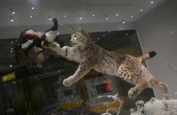 Diorama presenting a Eurasian lynx (Lynx lynx) catching a black grouse (Tetrao tetrix)