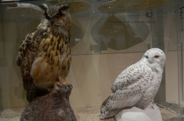 Specimens of Eurasian eagle-owl (Bubo bubo) and snowy owl (Bubo scandiacus)
