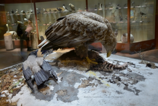 Diorama of white-tailed eagle (Haliaeetus albicilla)