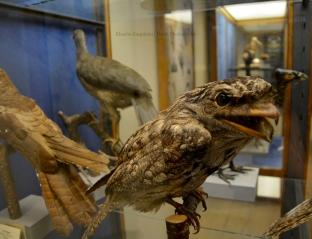 Specimen of tawny frogmouth (Podargus strigoides)