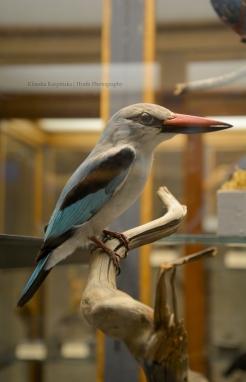 Specimen of Woodland kingfisher (Halcyon senegalensis)
