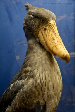 Specimen of shoebill (Balaeniceps rex)