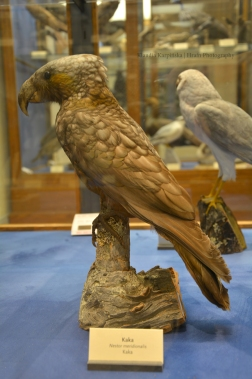 Specimen of New Zealand kaka (Nestor meridionalis)