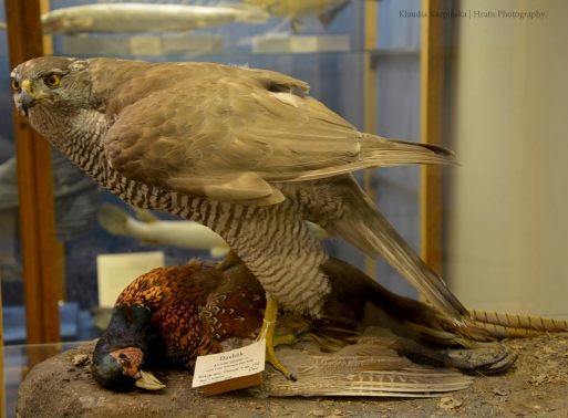 Specimen of northern goshawk (Accipiter gentilis)