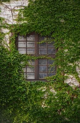 Window surrounded by European ivy (Hedera helix)