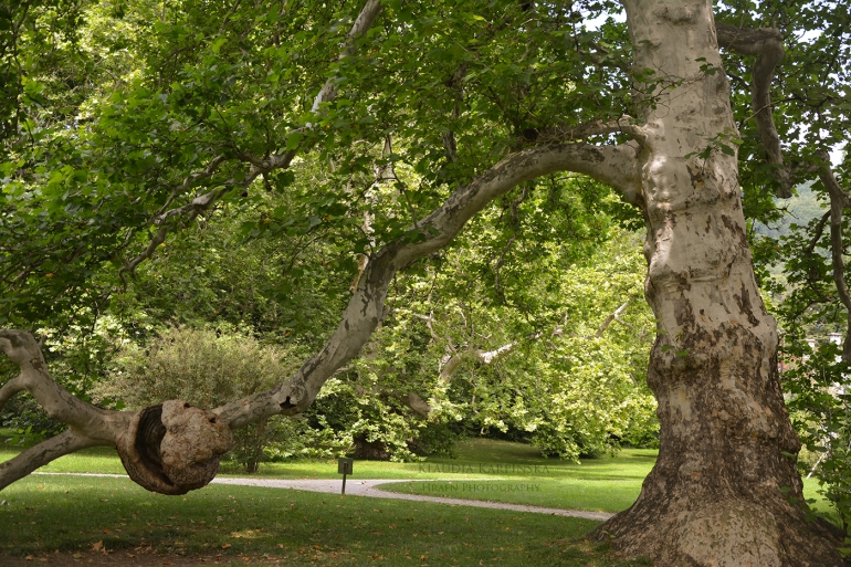 Old tree (III)
