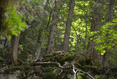 Alpine ibex (Capra ibex) (II)