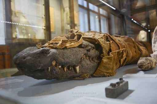 Mummy of Nile crocodile (Crocodylus niloticus)